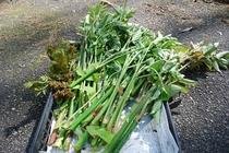 春の恵み ある日の山菜取りの収穫