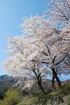 雪国だって、桜が綺麗なんですよ!