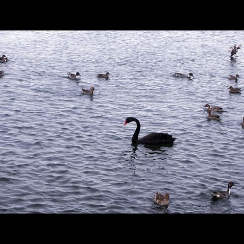 【猪苗代湖】今話題の『黒鳥』!!白鳥が多く見られる猪苗代湖ですがこれは珍しい!!画像募集中!