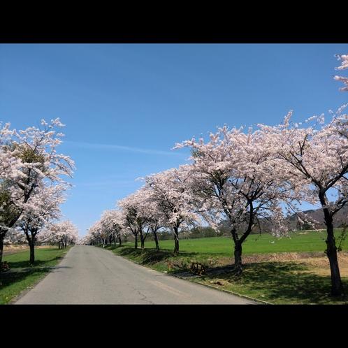 【町営牧場並木通り】桜並木のワンショット♪春の1週間しかないチャンスだから桜は儚いですよね