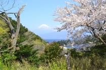 富士山と桜、菜の花のコラボ