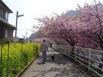 河津桜会場
