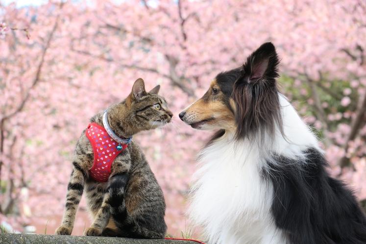 新入りの猫と河津桜見物