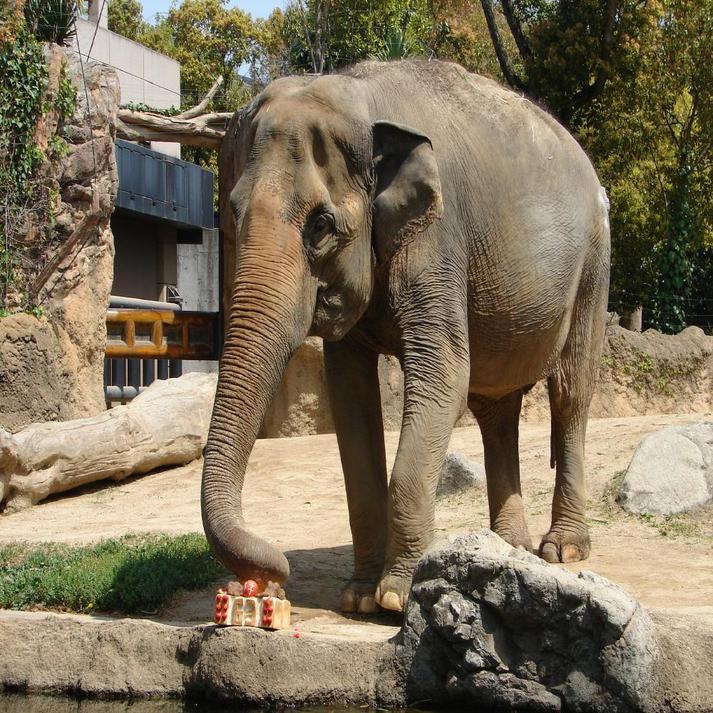 天王寺動物園のぞうです♪
