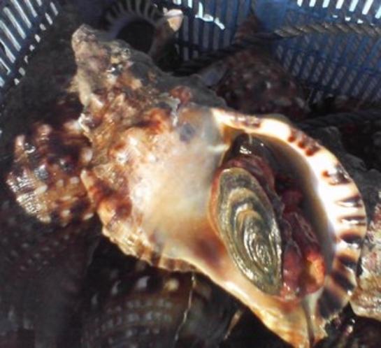 ほら貝は石鏡からやってきました。
