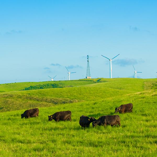 宗谷黒牛のいる風景