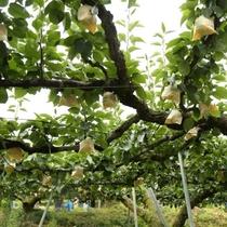 波関園で梨狩り体験