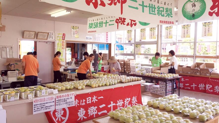 *【鳥取名産二十世紀梨】秋は東郷のJAで甘くて瑞々しい梨をご購入いただけます。
