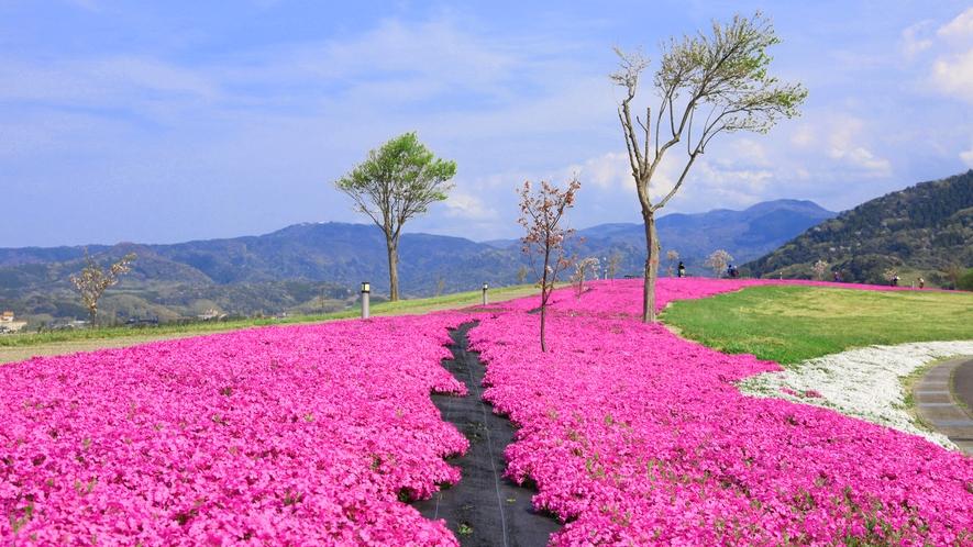 *【芝桜4月・めぐみのゆ公園】当館から車で3分・徒歩20分・芝桜ロードは人気の撮影映えスポット