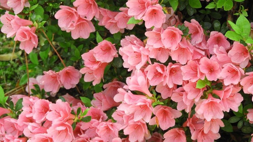 *【養生館庭園】初夏は様々な色のつつじをお楽しみいただけます。