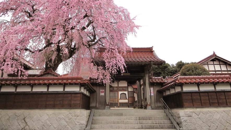*【シダレ桜の名所・極楽寺】当館からお車で40分ほど。倉吉の名所極楽寺のシダレ桜