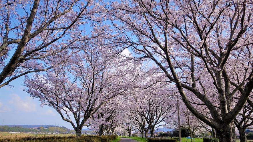*【旧国鉄倉吉線廃線跡 ・春】当館からお車で35分 倉吉の桜の名所のひとつです。