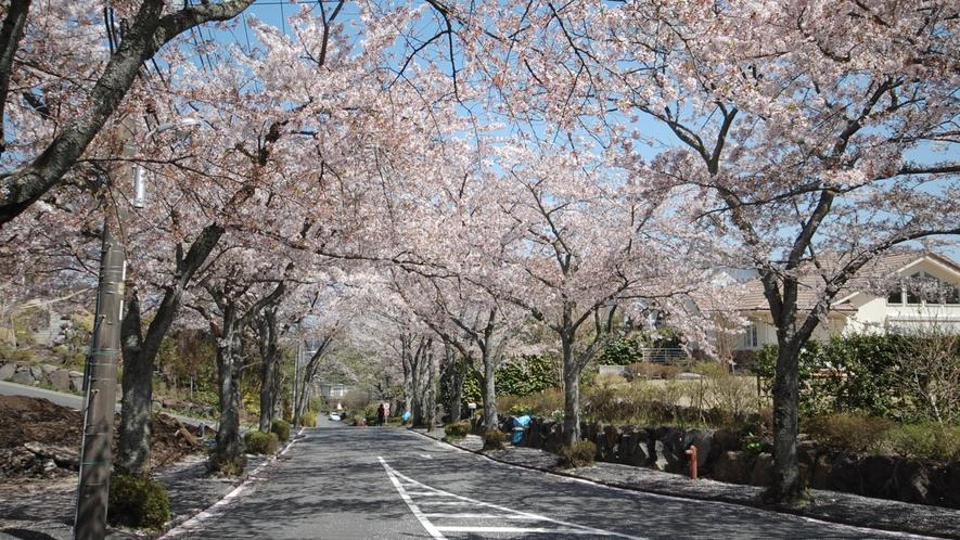 *[春の風景]当館目の前にある桜並木の街路樹。3月末~4月に咲くソメイヨシノです。