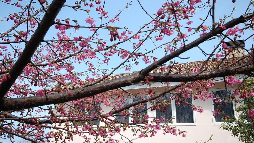 *[春の風景]山側のお部屋からは河津桜をご覧いただけます。