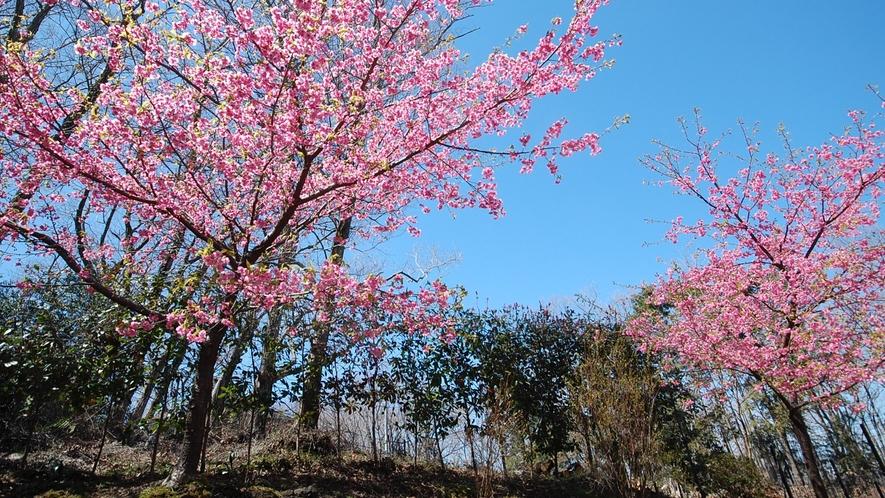 *[春の風景]春の訪れを告げる河津桜。当館の山側で楽しめる風景です。