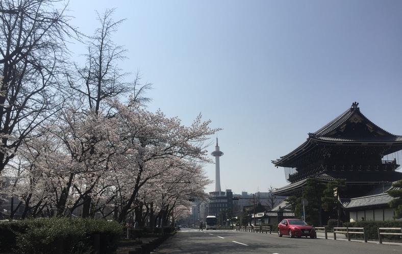 東本願寺前の桜風景