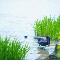 -千波湖-千波湖周辺では様々な水鳥がくつろいでます♪