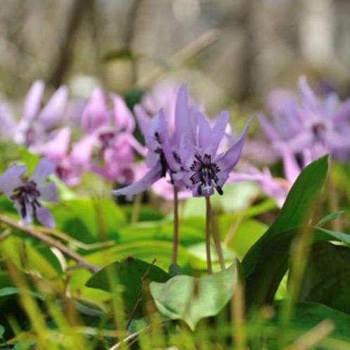 自然植生の雪国植物園 かたくりの花などが鑑賞できます。(車で25分)
