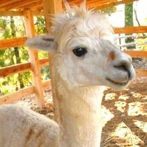山古志アルパカ牧場 地域のアイドルとして大人気のアルパカと無料で触れ合えます。(車で40分)
