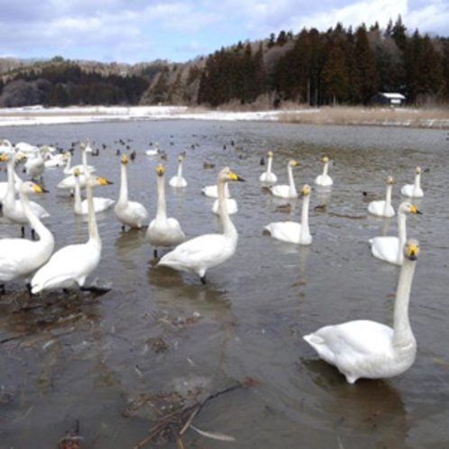 柏崎市大池の白鳥♪日本海側の冬ならではのオススメスポット♪(車で40分)