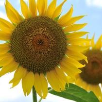 夏を満喫♪津南のひまわり畑は県内随一の夏の人気スポットです。(車で約2時間)