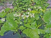 [わさびの花]安曇野の植物や花々に芽吹きの季節がやってきます