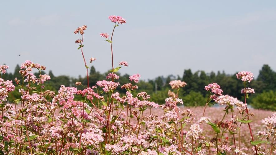 *≪そばの花≫そばの花の見頃はお盆おわりから9月前半にかけて、かわいらしい花を咲かせます。
