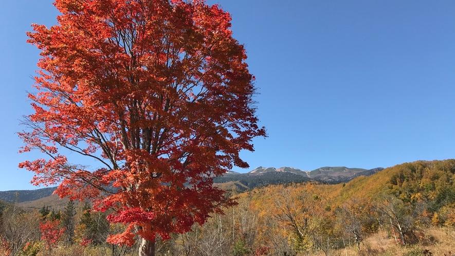 *【紅葉/周辺】乗鞍岳の大カエデ。紅葉に染まる山々を見ながら、登山やハイキングはいかがでしょう?