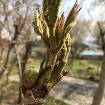 *タラの芽/山採りの天然物、山菜の王者 タラの芽が収穫できました!