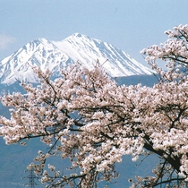 *[常念岳と桜]満開の桜と雪化粧が残る山の頂