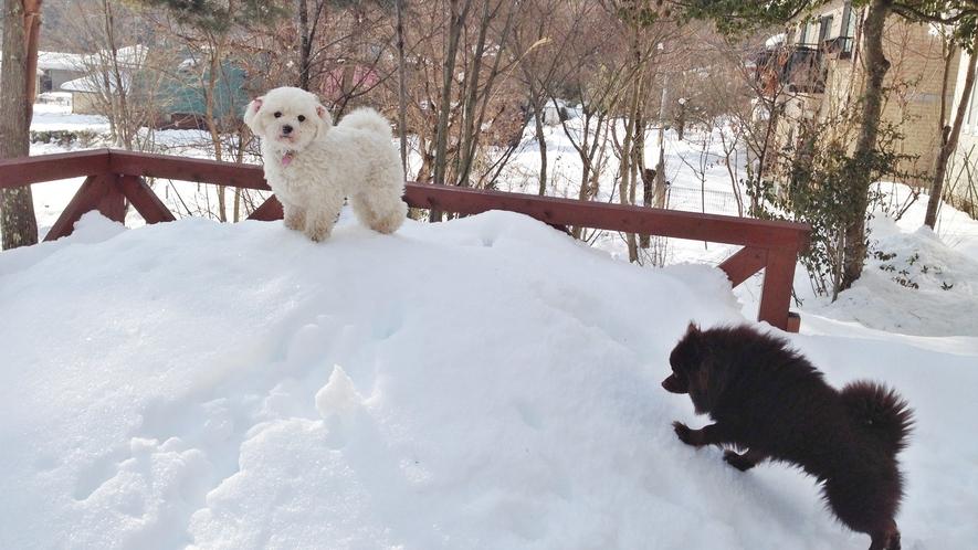 *[看板犬]冬は積もった雪の上を元気にお散歩しています☆