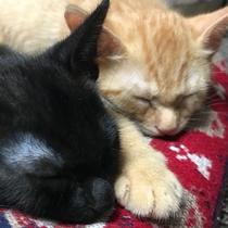 *【看板猫】茶色のきなこと黒色のくろまめ。仲良しの二人はお昼寝も一緒です。