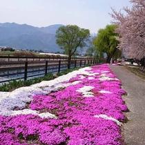*[拾ケ堰(じっかせぎ)]春の拾ケ堰は、芝桜・桜のコラボレーションを楽しめます。