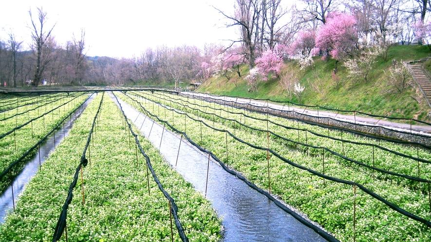 *[大王わさび農場]澄んだ水と美しいわさび田の風景
