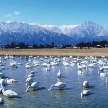 *[白鳥]北アルプスの山並みをバックに優雅に泳ぐ白鳥の群れを鑑賞