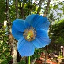 ブルーポピー(蒼いケシの花)