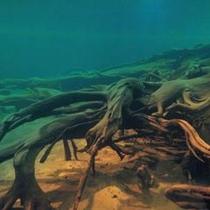 『埋没林博物館(ねっこランド) 水中展示 埋没林』