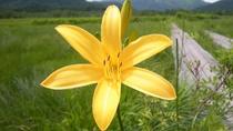 *【ニッコウキスゲ(イメージ)】7月頃~末に見ごろを迎え、尾瀬の湿原一帯が山吹色に染まります。
