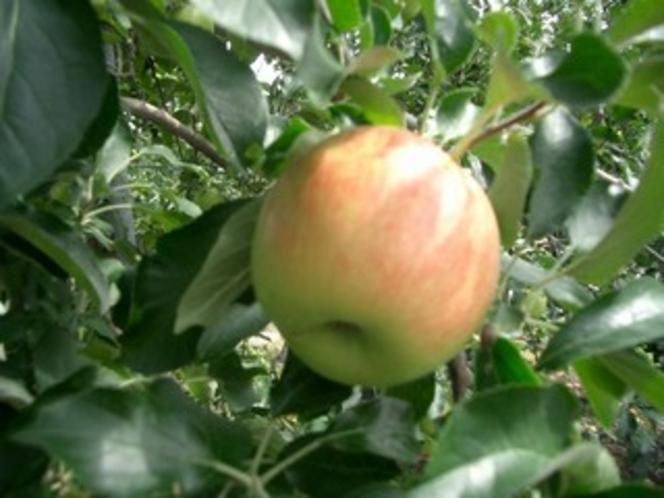 蜜がタップリ! フジりんご