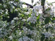 リンゴの木々の白いリンゴの花。