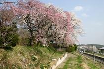 信濃境境桜