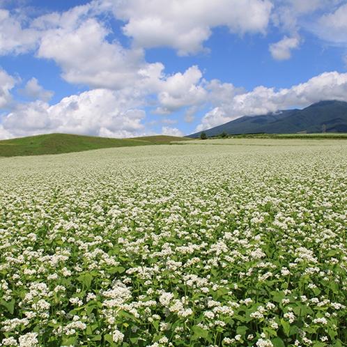 【周辺】秋口には一面に広がる白い花が蕎麦畑を包みこみます。