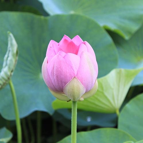 【周辺】7月には古代蓮が咲き、鮮やかな色に目を奪われます。