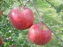 真っ赤な「ふじりんご」