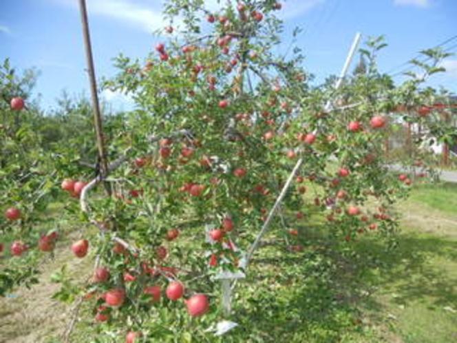 りんご狩りパック ふじりんごの木