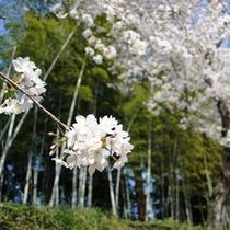 後楽園 桜 (後楽園までお車で約10分)