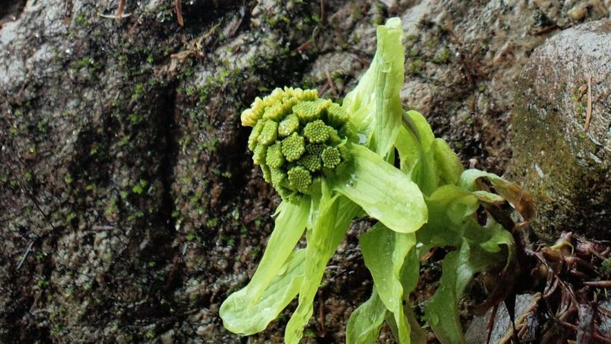 【春の訪れ】そろそろ美味しい山菜が取れる季節になります。(3月中旬頃)
