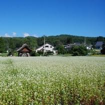 新行高原そば畑(9月)