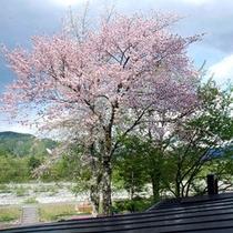 【桜】大町温泉郷の見頃は4月中旬~5月初旬です