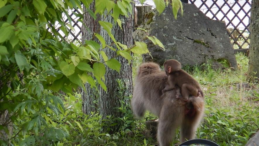 【ホテル前】親子猿